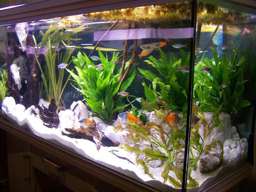 Bild 1 3 oben diskusschaubecken und kampffischversteigerung for Zierfische aquarium